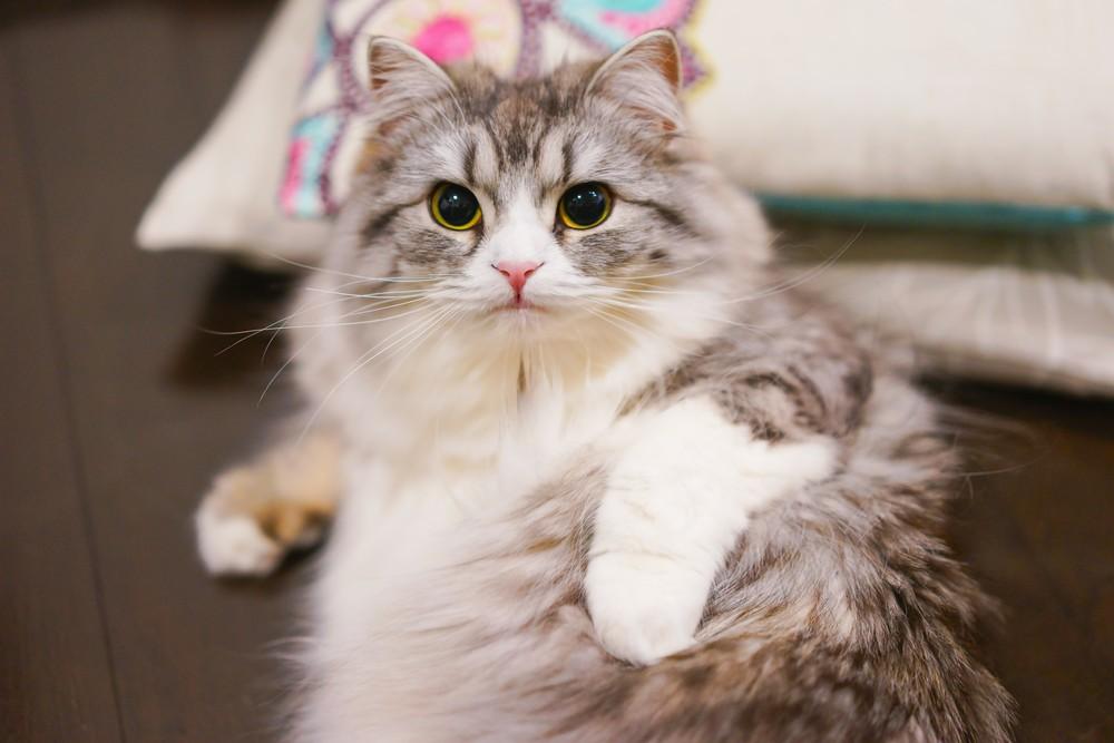 オリジン・キャットフードのフィット&トリムは肥満気味の愛猫におすすめ
