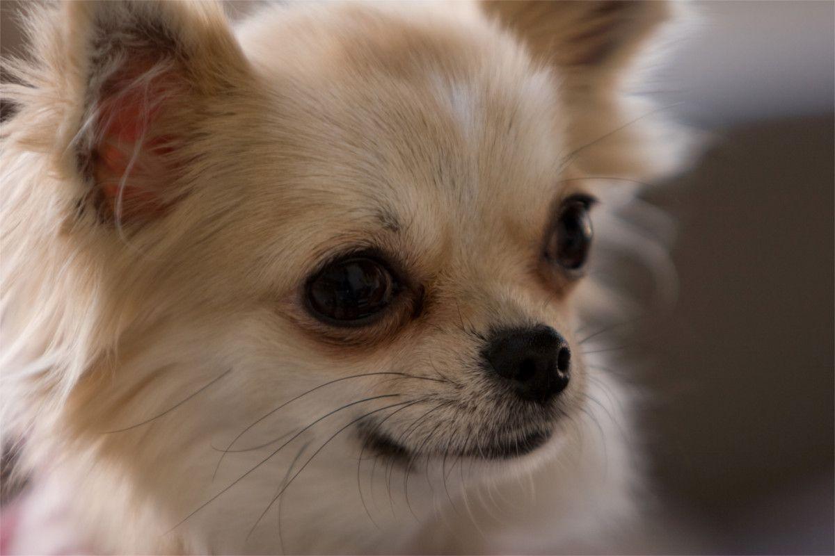 チワワってどんな犬?