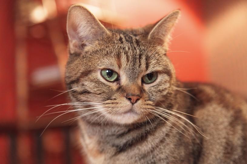 室内飼いの猫に与えるキャットフードをお探しならロイヤルカナンのインドア