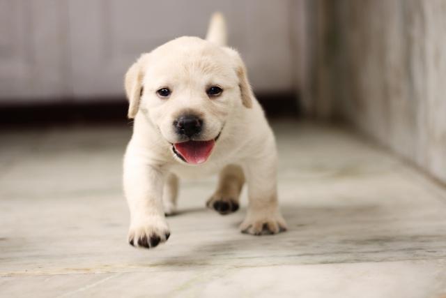 ラブラドールの子犬を飼うときに気をつけたいこと