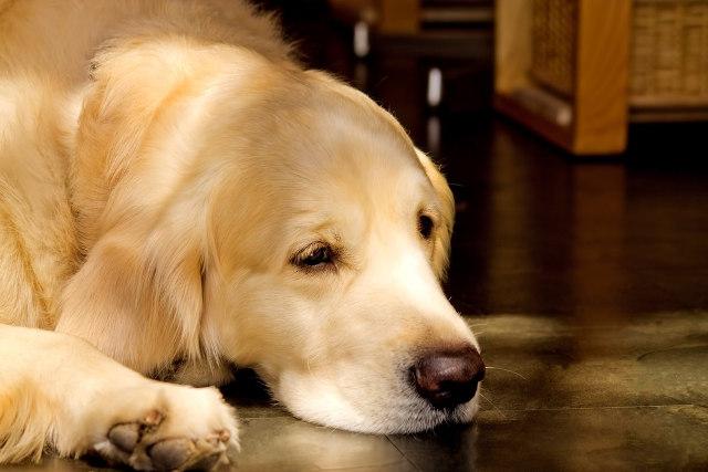 室内で飼っている犬がペットシーツを誤食したときの対処法